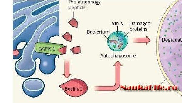 Найден ключевой белок, защищающий от большинства вирусов