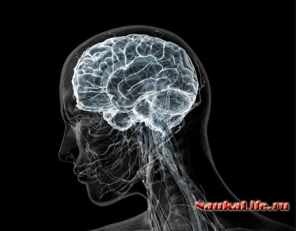 Анатомия головного мозга.